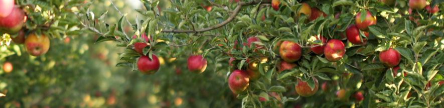Panorama of tree with red apples