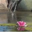 A pond with floating lilly-pads
